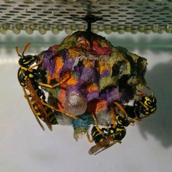 Исследование, биология, природа, животные, фауна, Европейские бумажные пчёлы создают произведения искусства?
