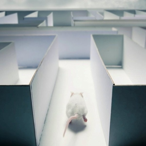 Исследование, психология, мозг, природа, животные, фауна, эволюция, Подопытные мышки соображают лучше, чем компьютер